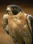 Once an endangered species in the United States, North American peregrine falcon populations have made a great comeback due to bans on usage of DDT and similar pesticides. Photograph by Michael Melford