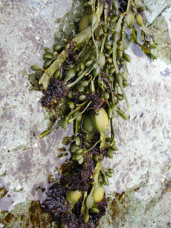 kelp in kjalarnes