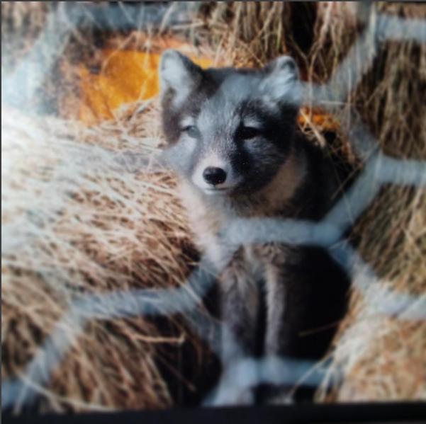 fox-kim