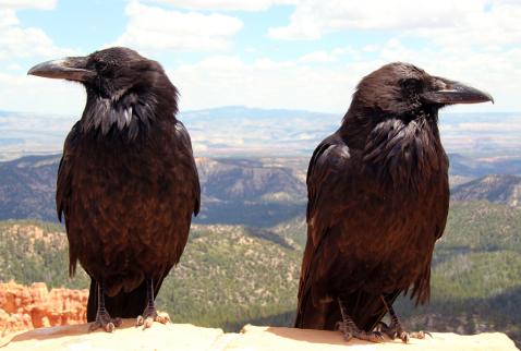 Ravens-1024x690